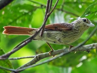 - Chestnut-winged Hookbill