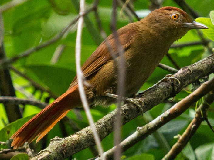 Chestnut-crowned Foliage-gleaner - Hernán Arias
