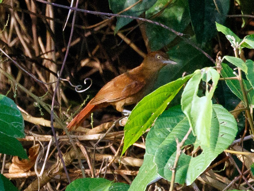 Chestnut-crowned Foliage-gleaner - Silvia Faustino Linhares
