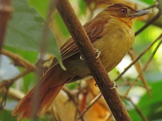- Brown-rumped Foliage-gleaner