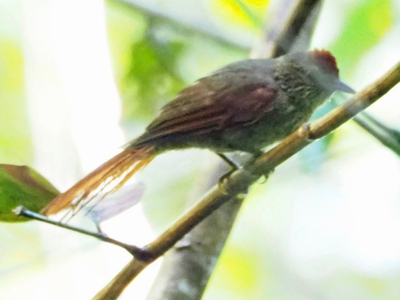 Speckled Spinetail - Kelly Siderio