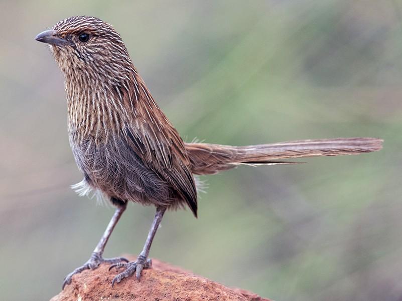 Kalkadoon Grasswren - Laurie Ross   Tracks Birding & Photography Tours