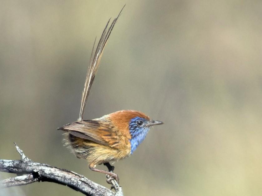 Rufous-crowned Emuwren - Tom Johnson