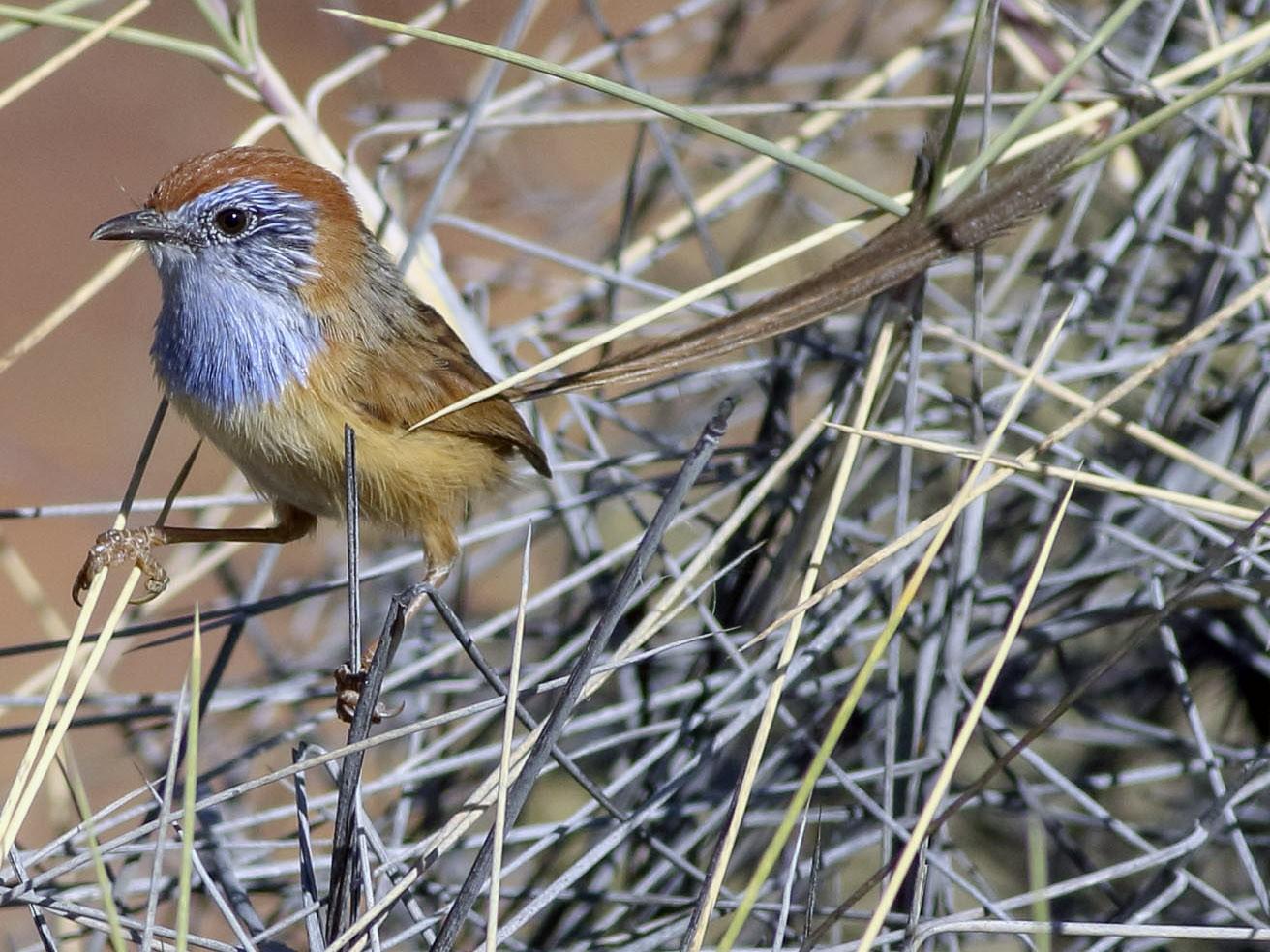 Rufous-crowned Emuwren - Stephen Murray