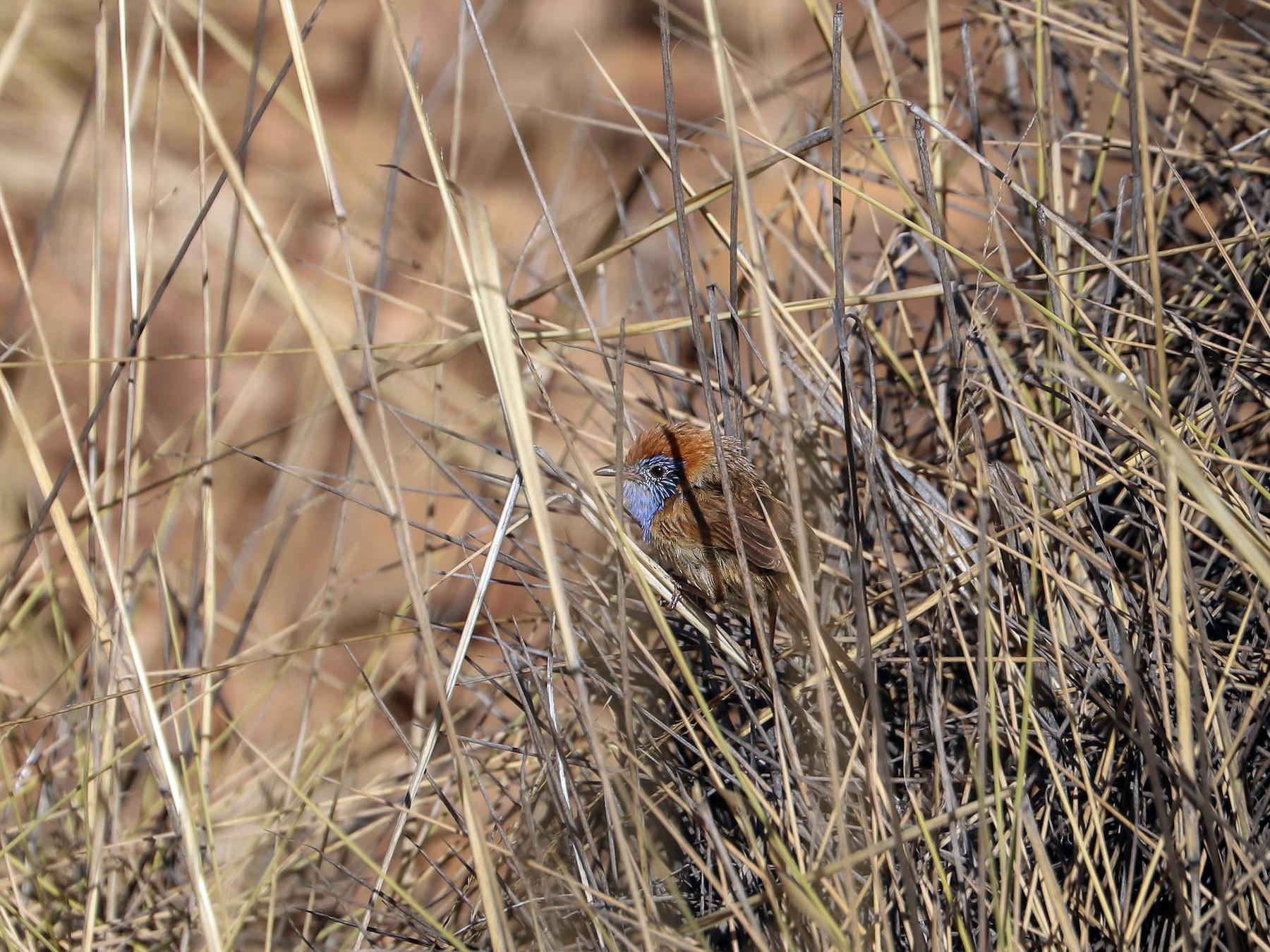 Rufous-crowned Emuwren - Ged Tranter