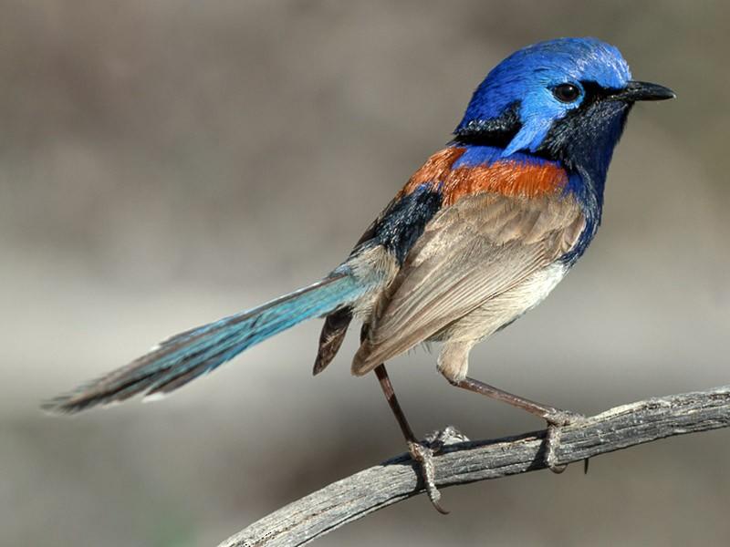 Blue-breasted Fairywren - Barry Deacon