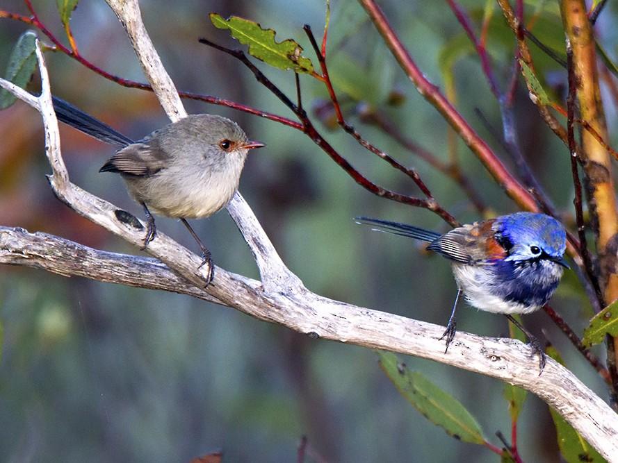 Blue-breasted Fairywren - Stephen Murray