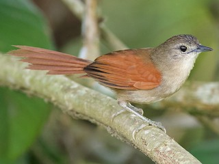 - Plain-crowned Spinetail