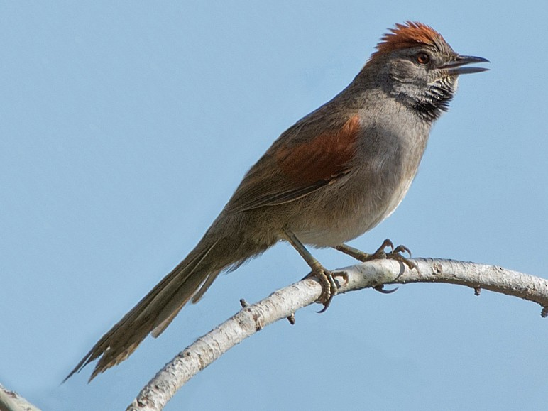 Cinereous-breasted Spinetail - LUCIANO BERNARDES