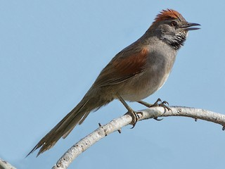 - Cinereous-breasted Spinetail
