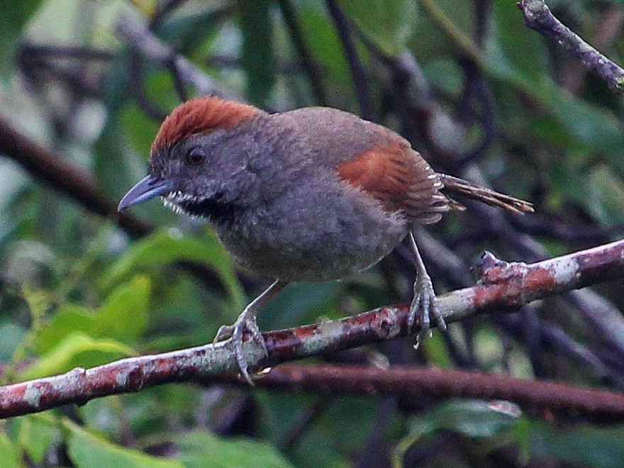 Cinereous-breasted Spinetail - João Souza
