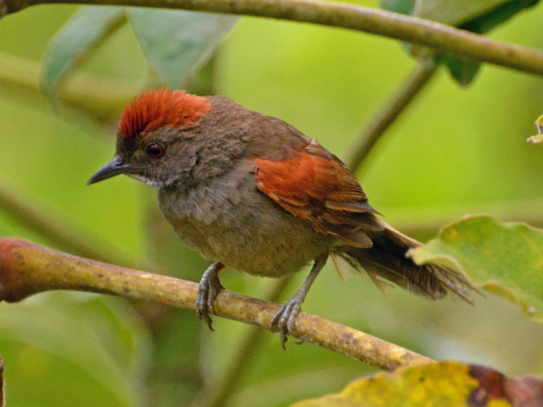 Cinereous-breasted Spinetail - Oliver Prioli