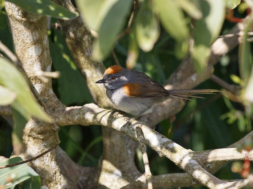 Dark-breasted Spinetail - Silvia Faustino Linhares