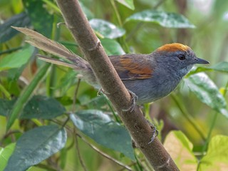 - Dark-breasted Spinetail