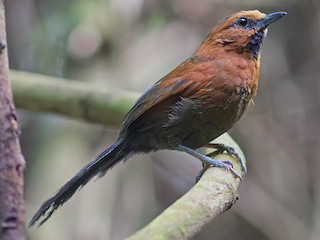 - Ruddy Spinetail