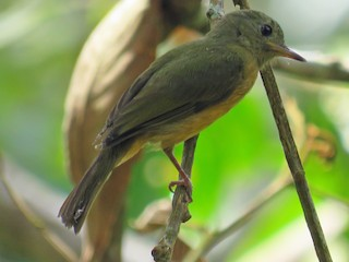 - McConnell's Flycatcher