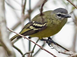 - White-lored Tyrannulet