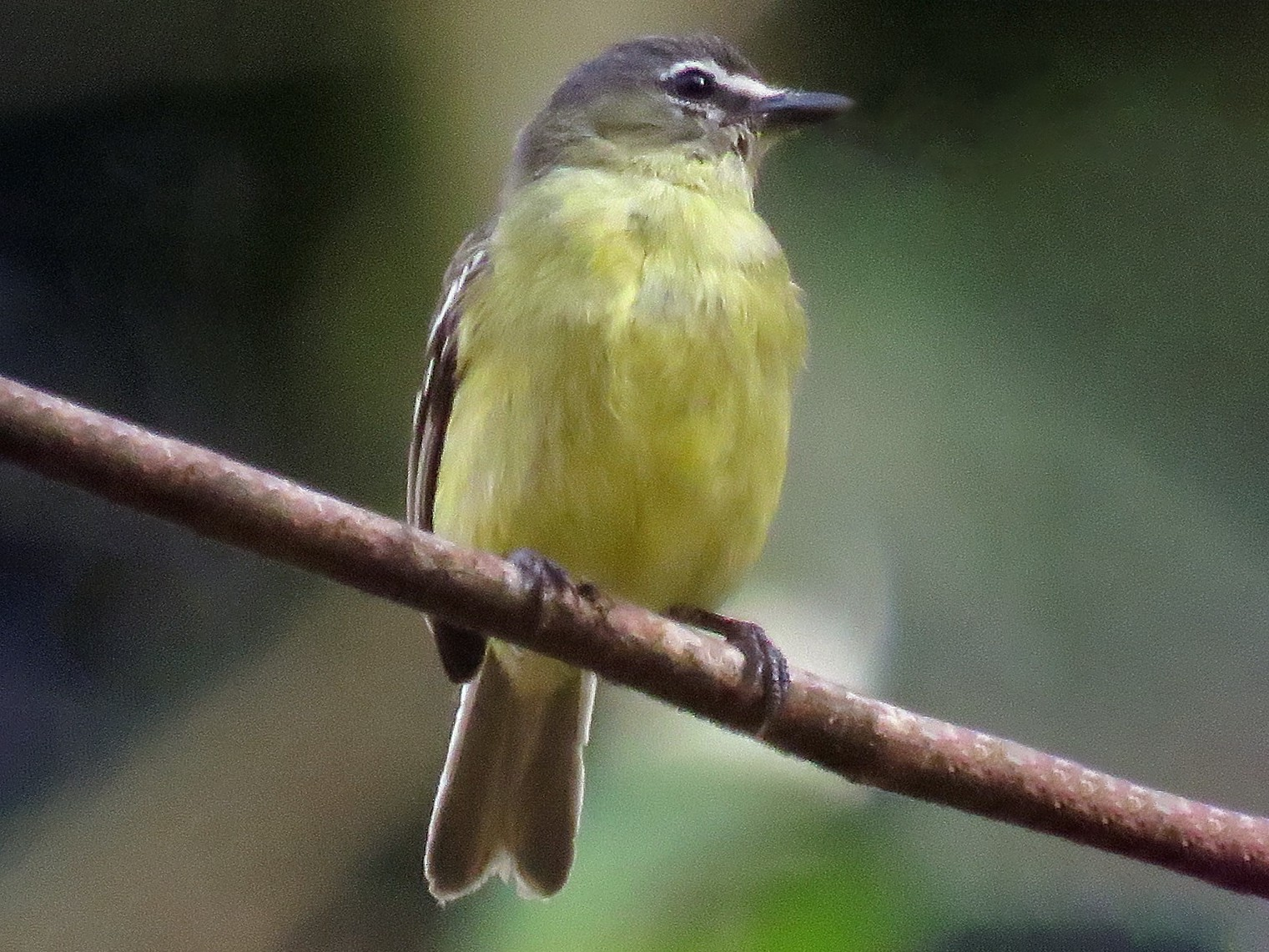 White-lored Tyrannulet - Rich Hoyer