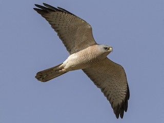 - Levant Sparrowhawk