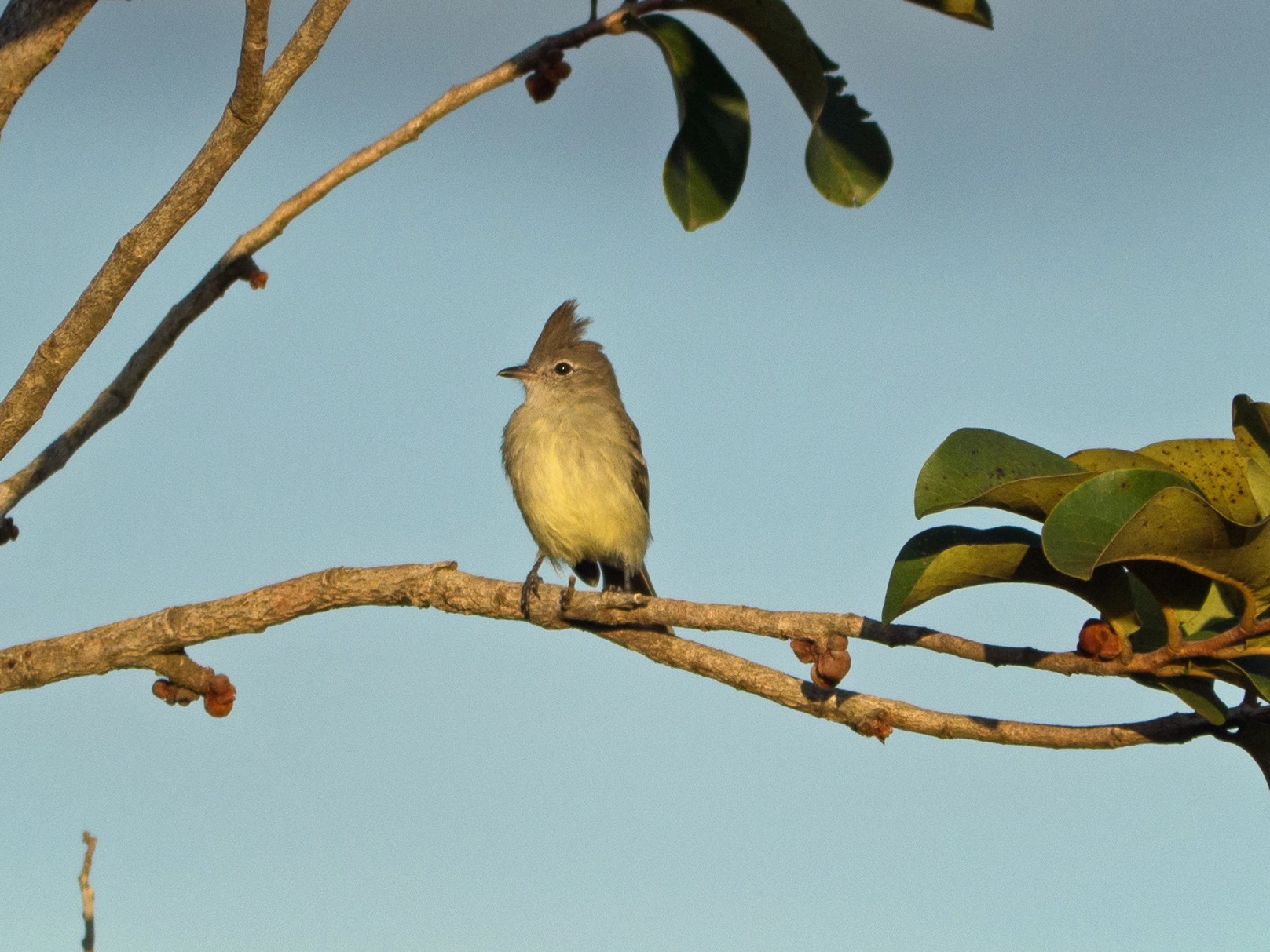 Plain-crested Elaenia - Randall Siebert