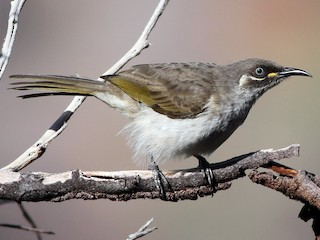 - White-lined Honeyeater