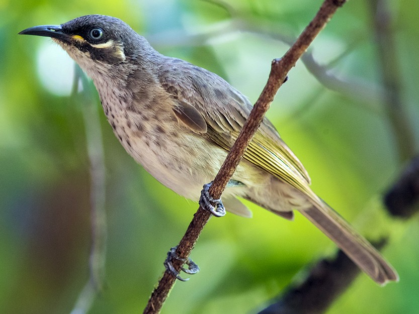 White-lined Honeyeater - Laurie Ross   Tracks Birding & Photography Tours