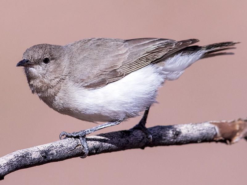 Gray Honeyeater - Laurie Ross | Tracks Birding & Photography Tours
