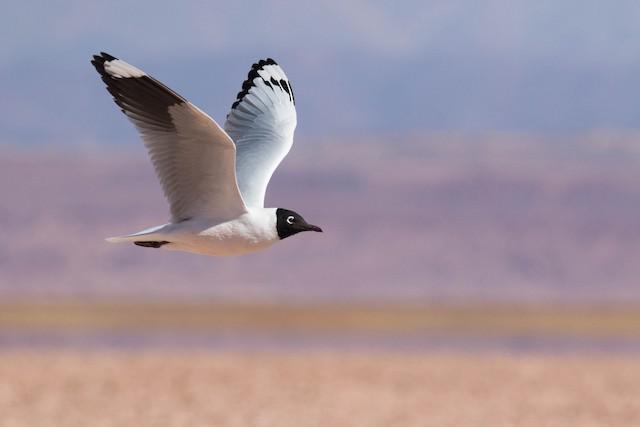 ©Luana Bianquini - Andean Gull