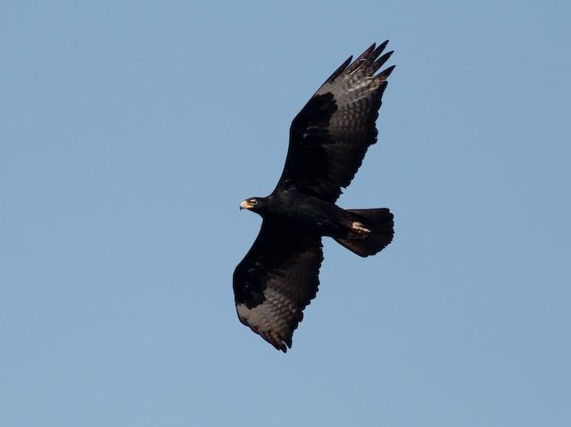 Verreaux's Eagle