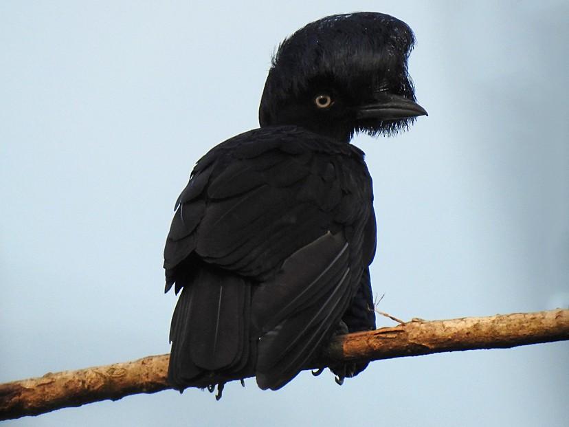 Amazonian Umbrellabird - Richard Garrigues