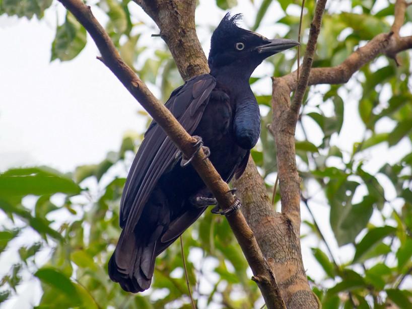 Amazonian Umbrellabird - Joao Quental JQuental