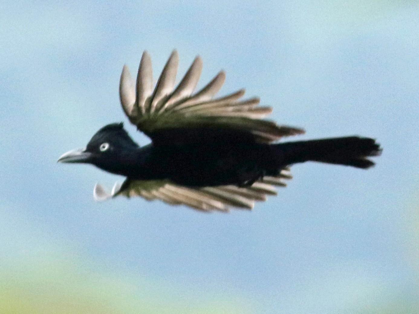 Amazonian Umbrellabird - Jay McGowan