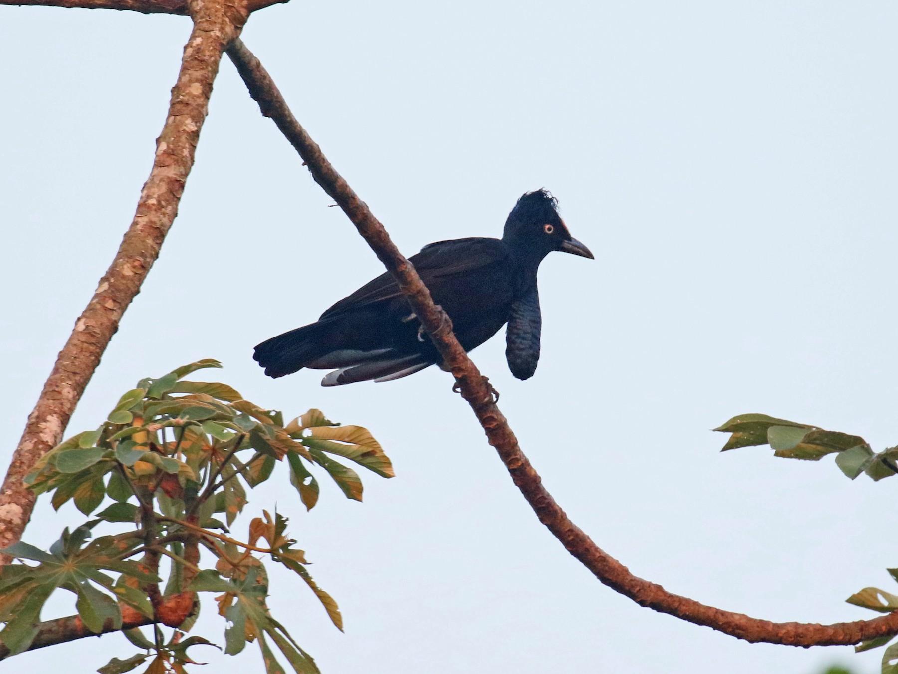 Amazonian Umbrellabird - David Lang