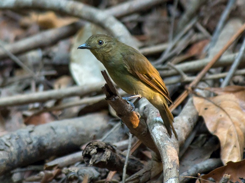 Brown-winged Schiffornis - Joao Quental JQuental