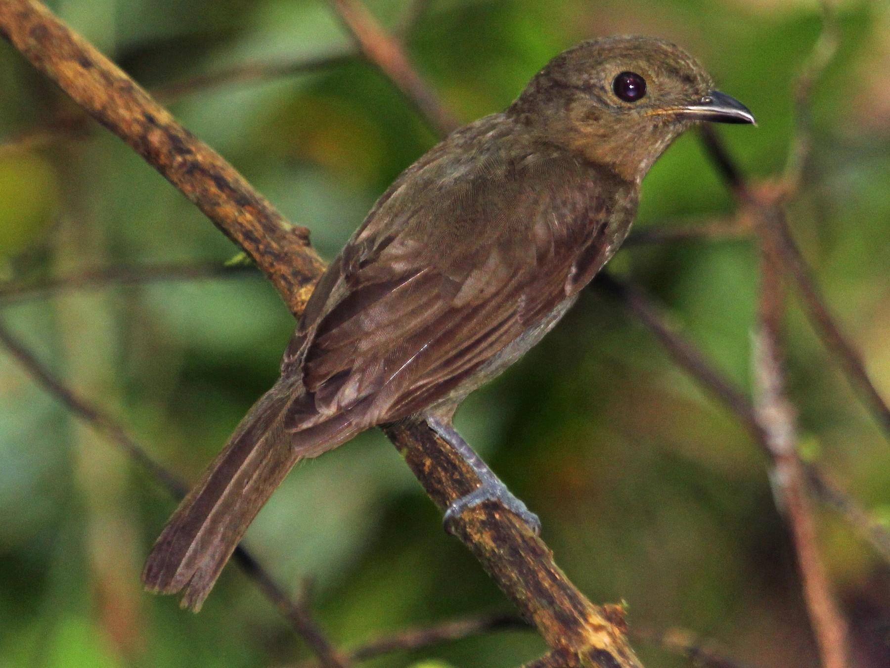 Brown-winged Schiffornis - Alexander Lees