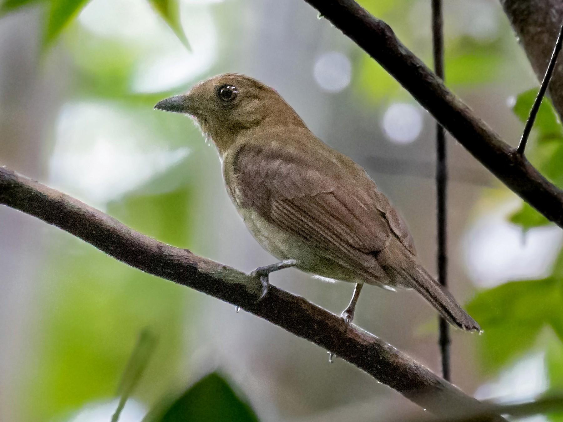Brown-winged Schiffornis - Héctor Bottai