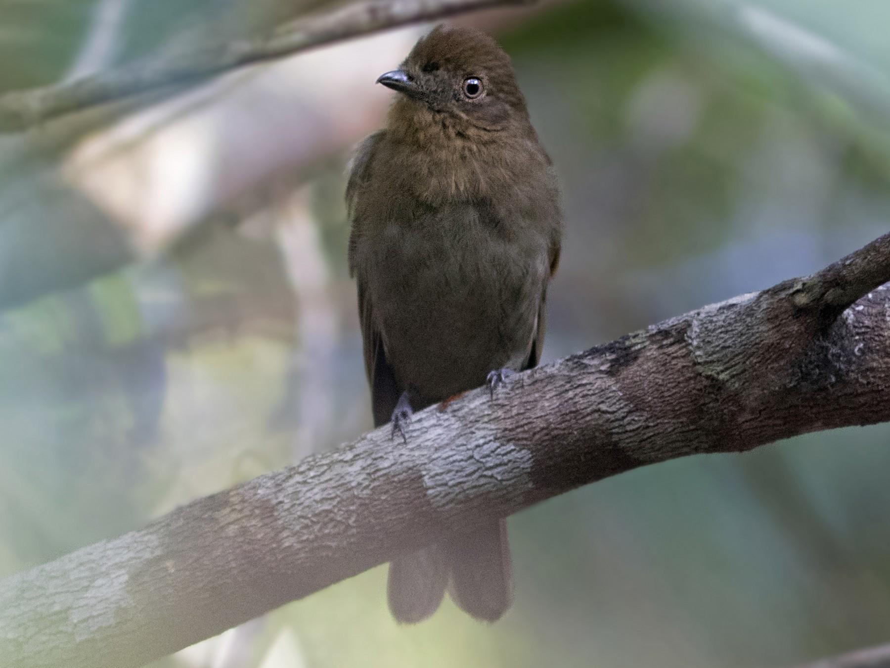 Brown-winged Schiffornis - Caio Brito