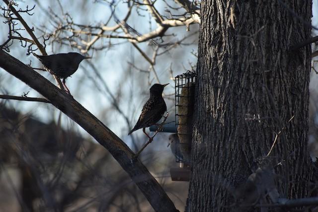 European Starling
