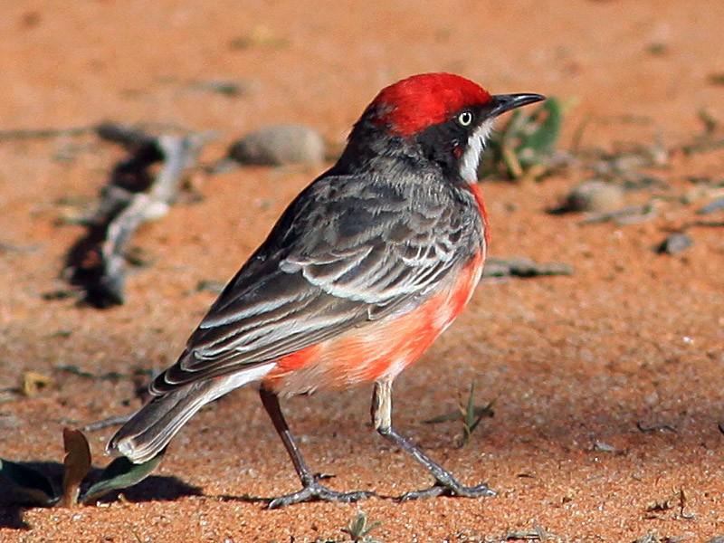 Crimson Chat - Rufus Wareham