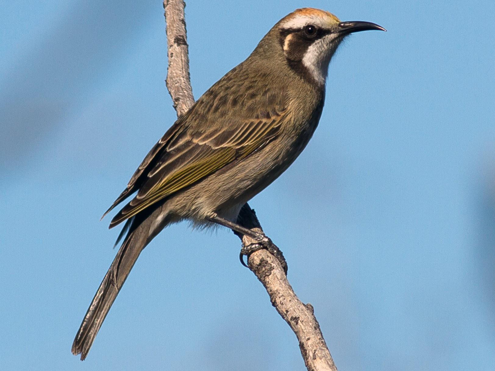 Tawny-crowned Honeyeater - Kym Nicolson