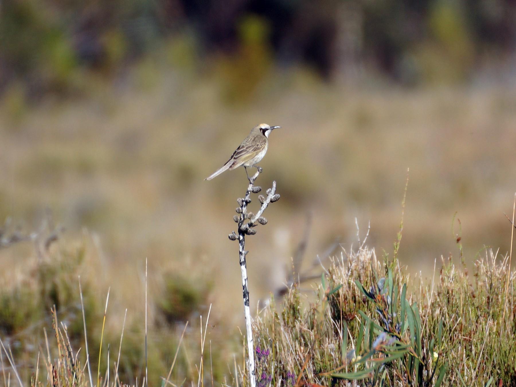 Tawny-crowned Honeyeater - Aiden Worseldine