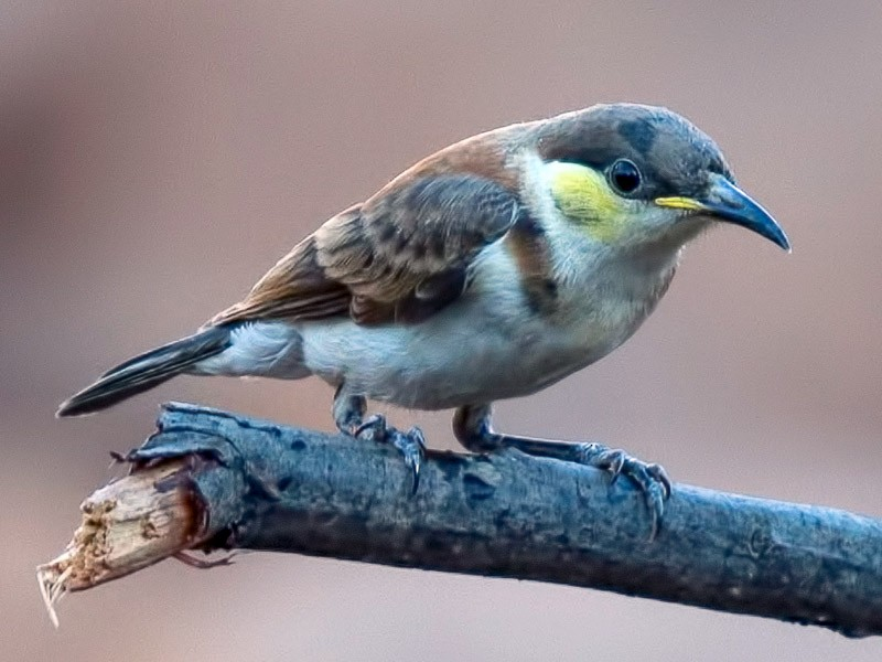 Banded Honeyeater - Barry Deacon