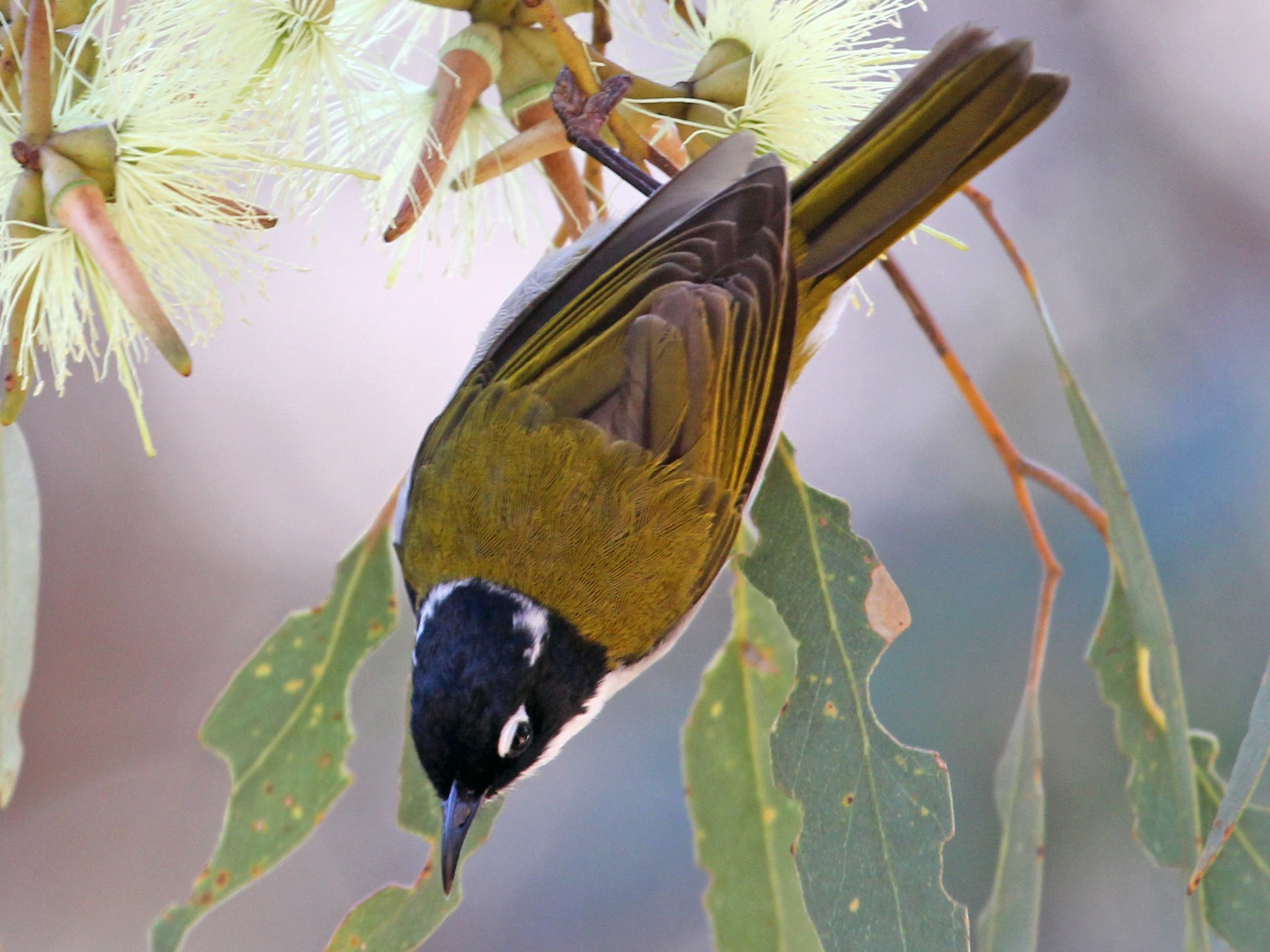 Gilbert's Honeyeater - Ray Turnbull