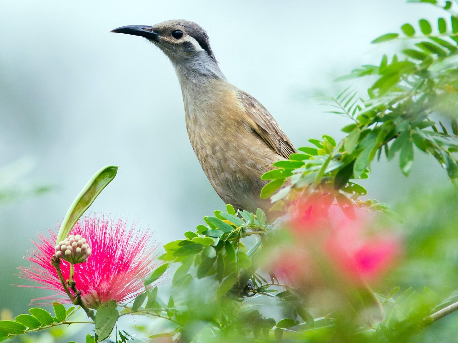 Tawny-breasted Honeyeater - Jan Lile