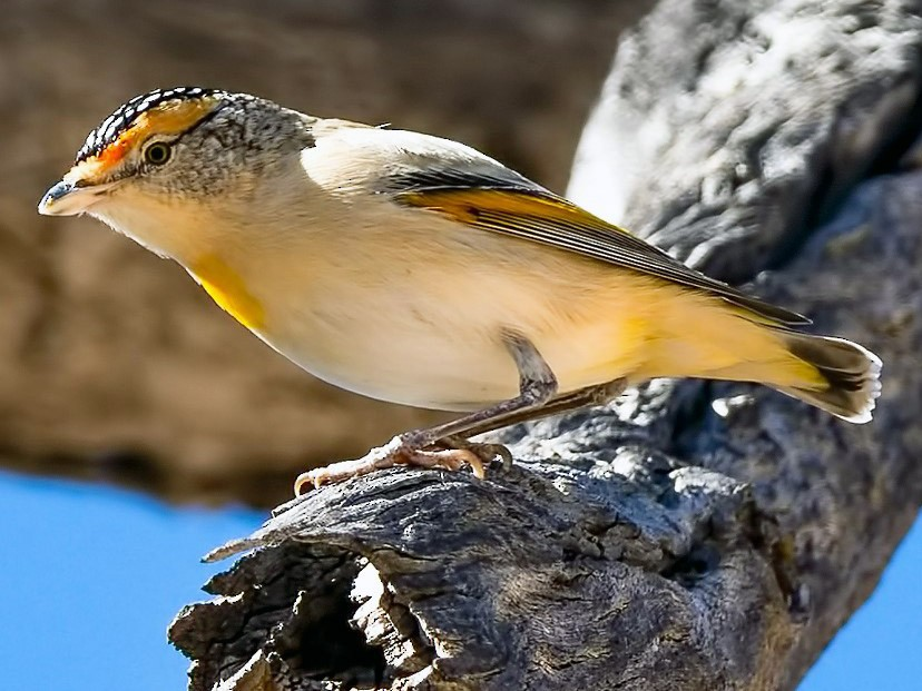 Red-browed Pardalote - Barry Deacon