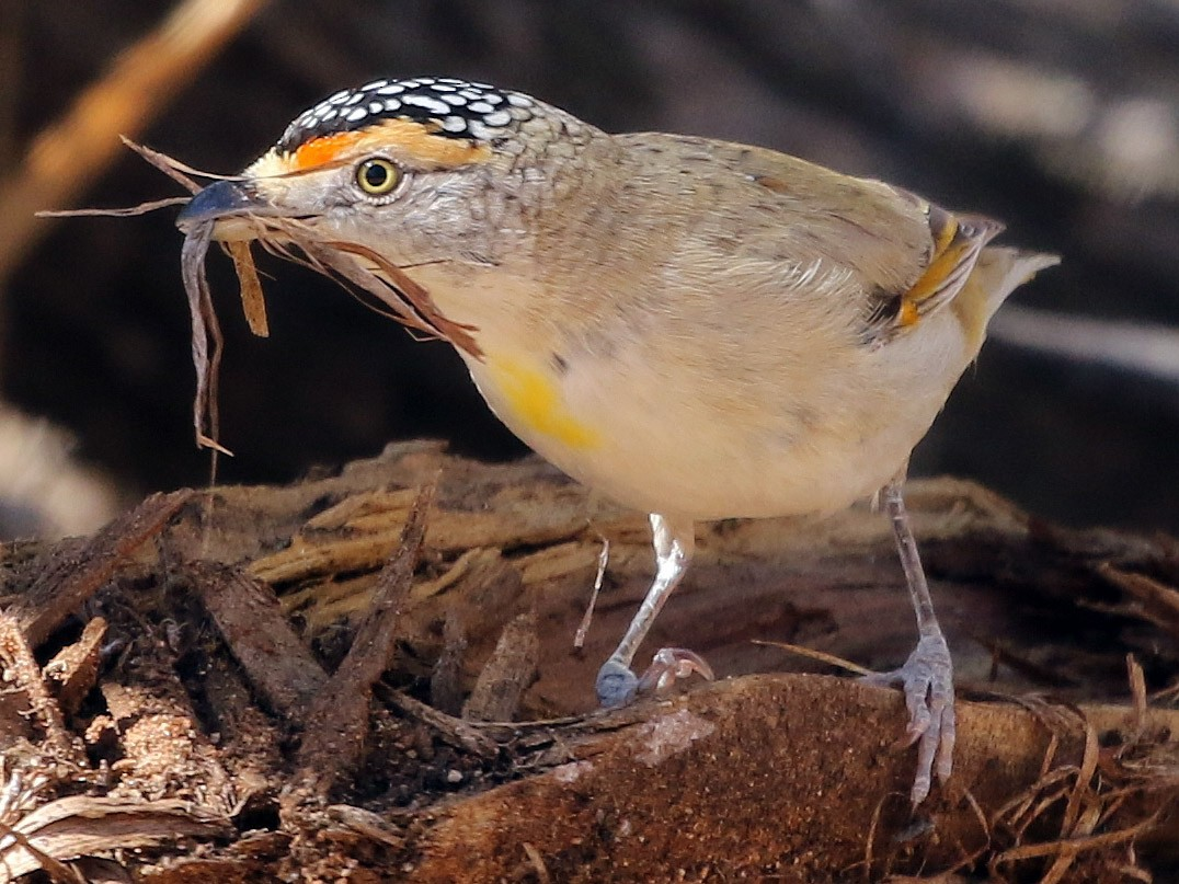 Red-browed Pardalote - David Ongley