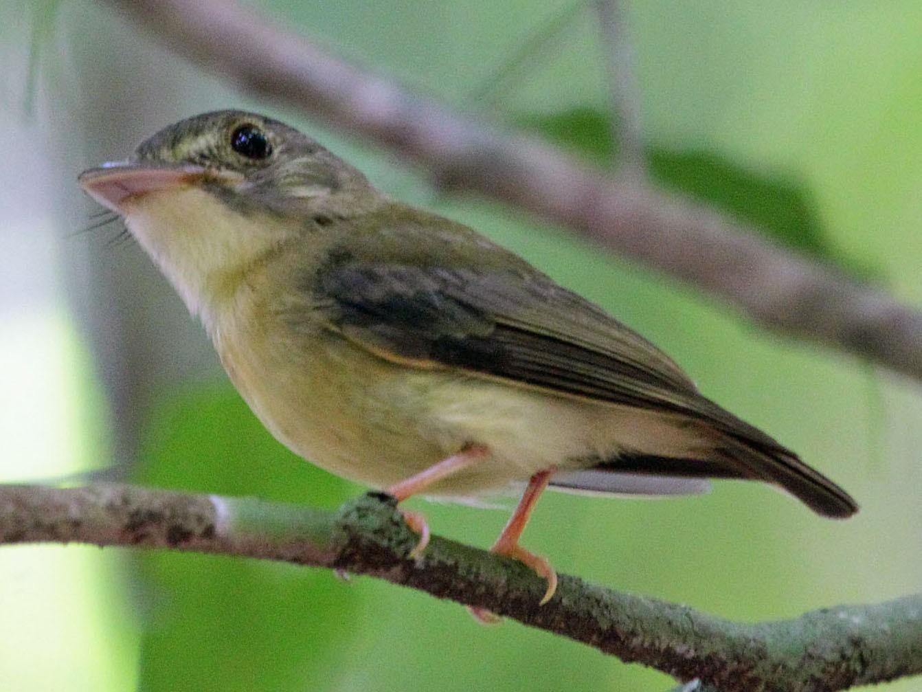 White-crested Spadebill - Myles McNally