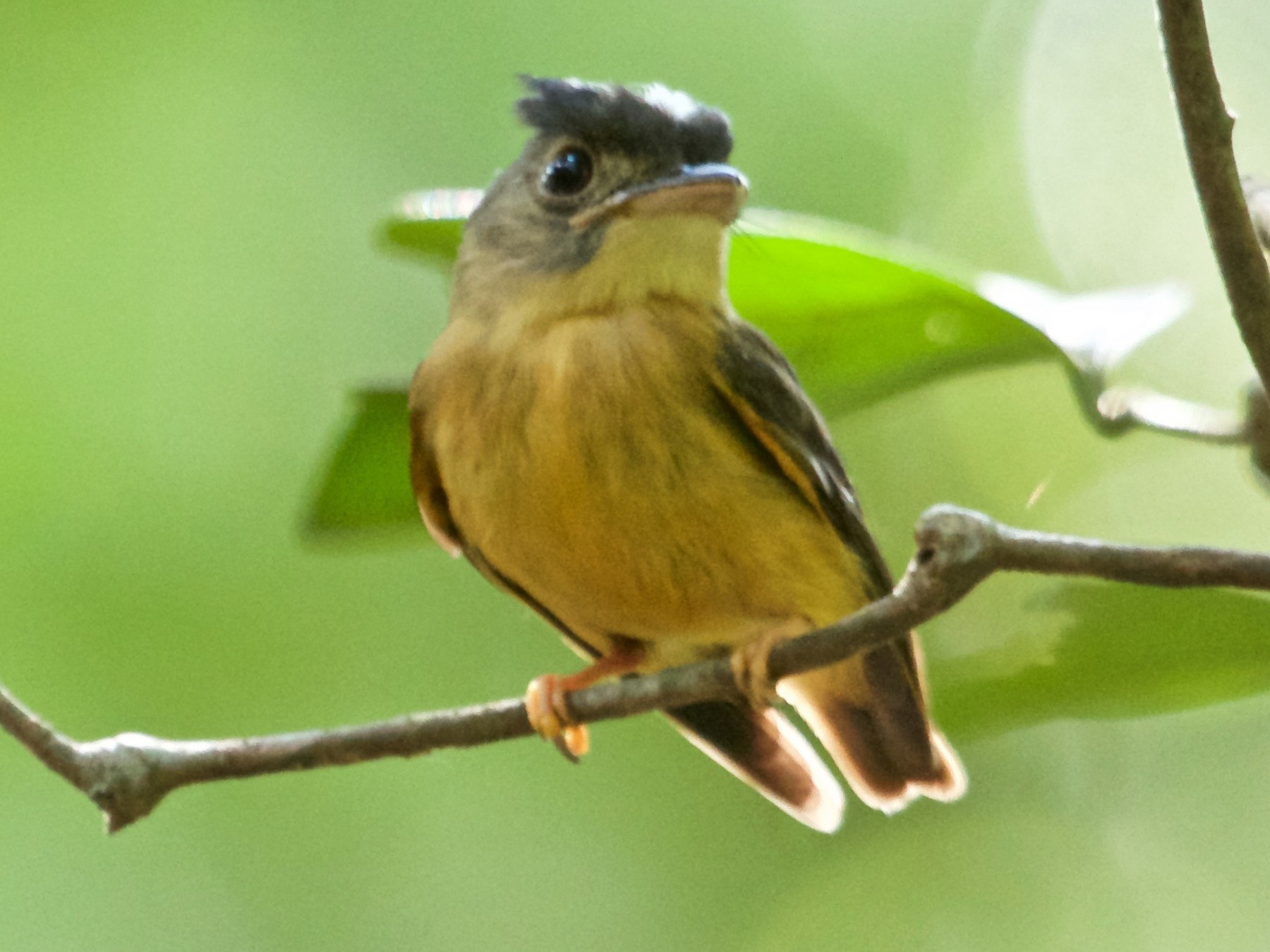 White-crested Spadebill - Will Sweet