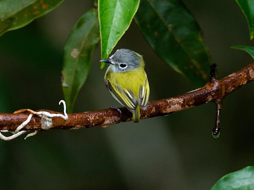 Short-tailed Pygmy-Tyrant - LUCIANO BERNARDES