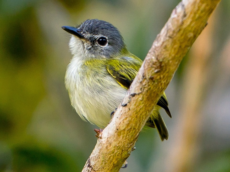 Short-tailed Pygmy-Tyrant - Joao Quental JQuental